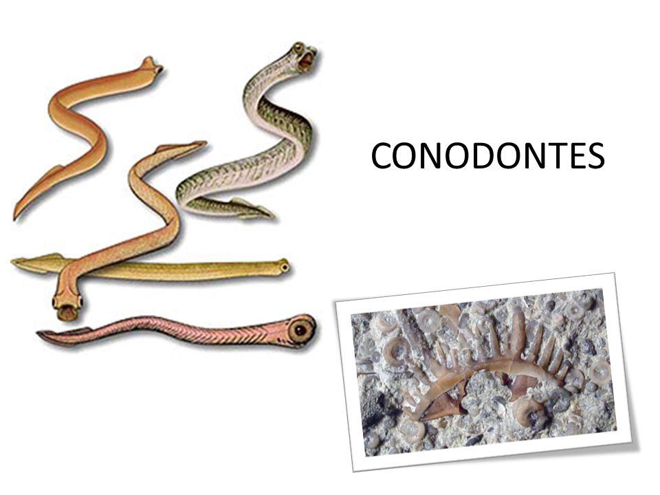 CONODONTES