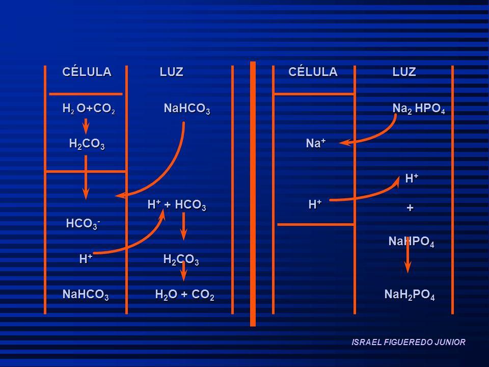 CÉLULA LUZ CÉLULA LUZ H2 O+CO2 NaHCO3 Na2 HPO4 H2CO3 Na+ H+