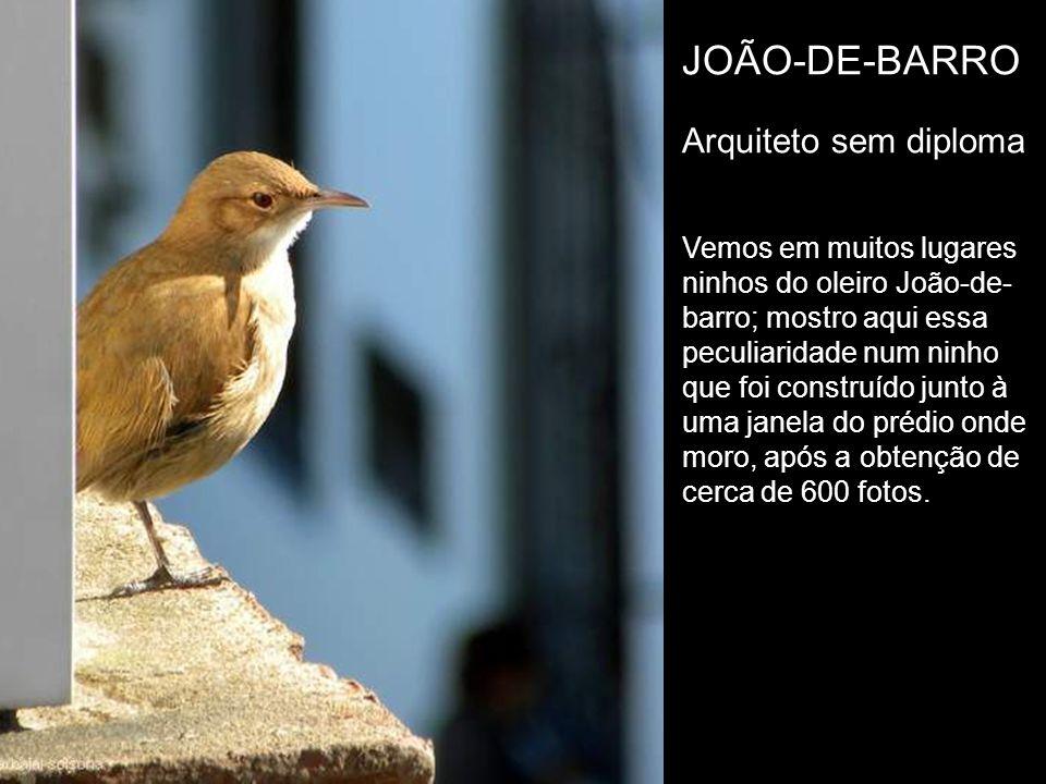 JOÃO-DE-BARRO Arquiteto sem diploma Vemos em muitos lugares