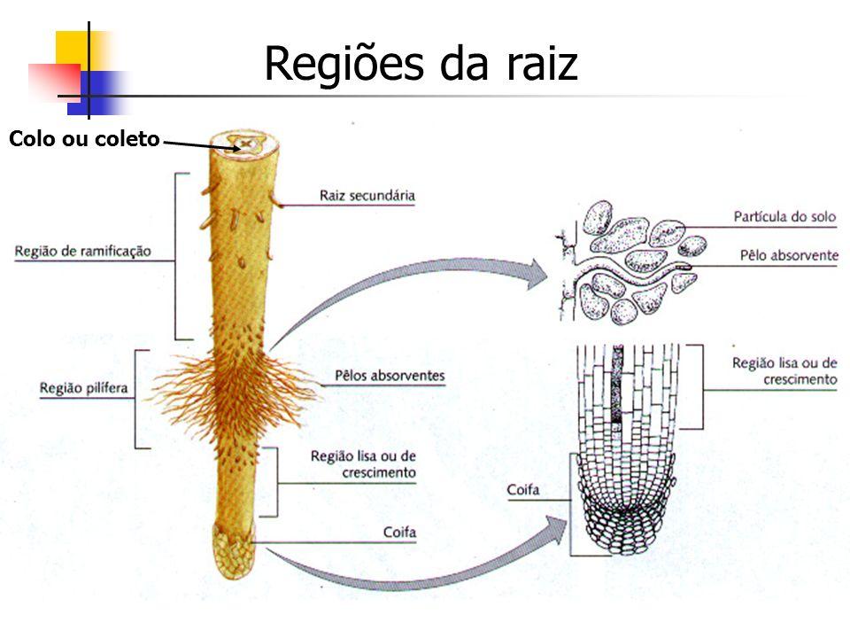 Regiões da raiz Colo ou coleto