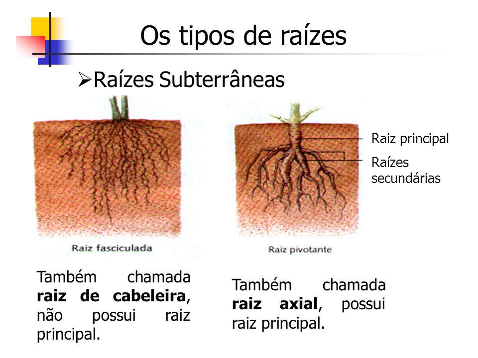 Os tipos de raízes Raízes Subterrâneas