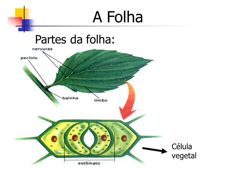 A Folha Partes da folha: Célula vegetal