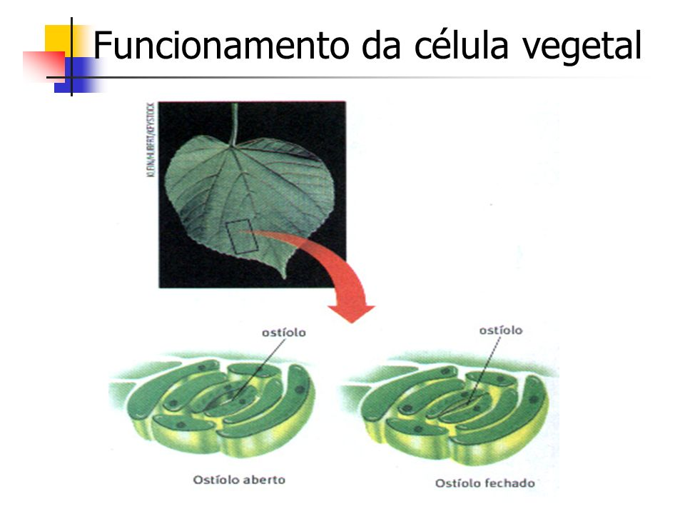 Funcionamento da célula vegetal