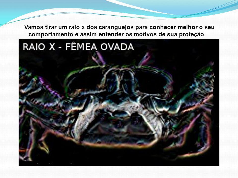 Vamos tirar um raio x dos caranguejos para conhecer melhor o seu comportamento e assim entender os motivos de sua proteção.