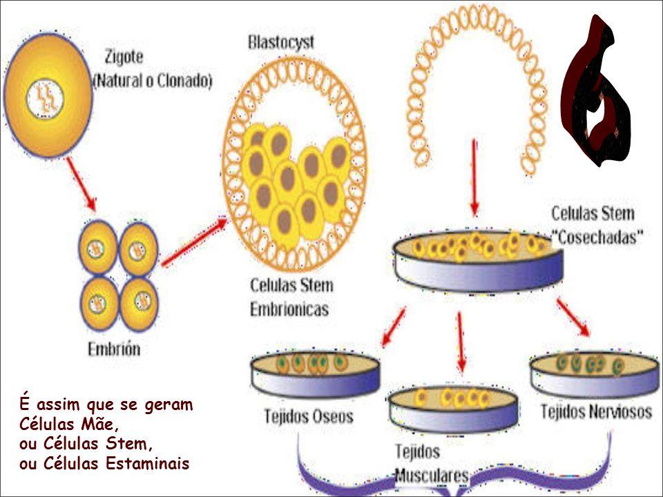 6 É assim que se geram Células Mãe, ou Células Stem,