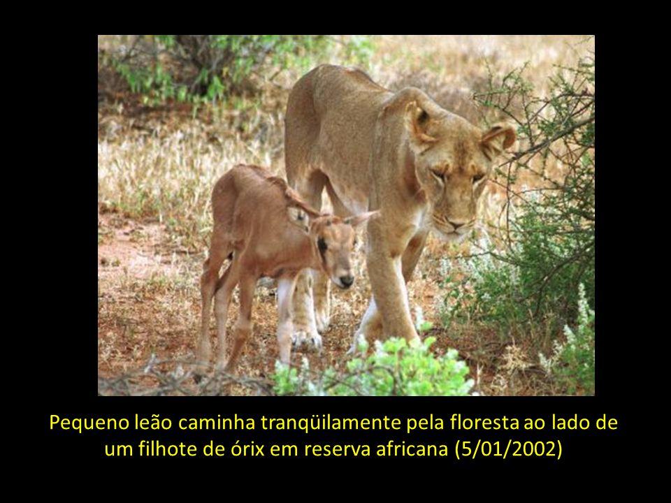 Pequeno leão caminha tranqüilamente pela floresta ao lado de um filhote de órix em reserva africana (5/01/2002)