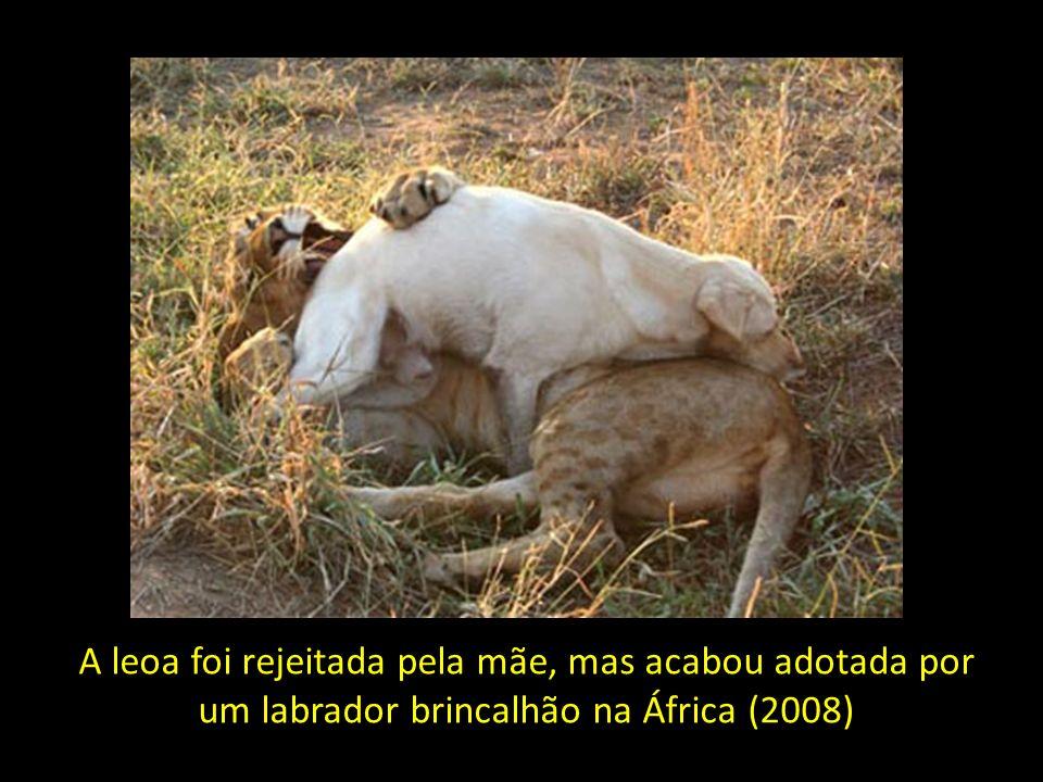 A leoa foi rejeitada pela mãe, mas acabou adotada por um labrador brincalhão na África (2008)