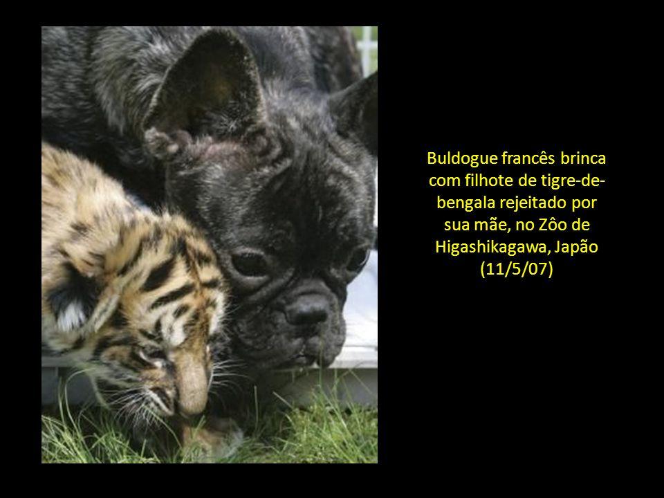 Buldogue francês brinca com filhote de tigre-de-bengala rejeitado por sua mãe, no Zôo de Higashikagawa, Japão (11/5/07)