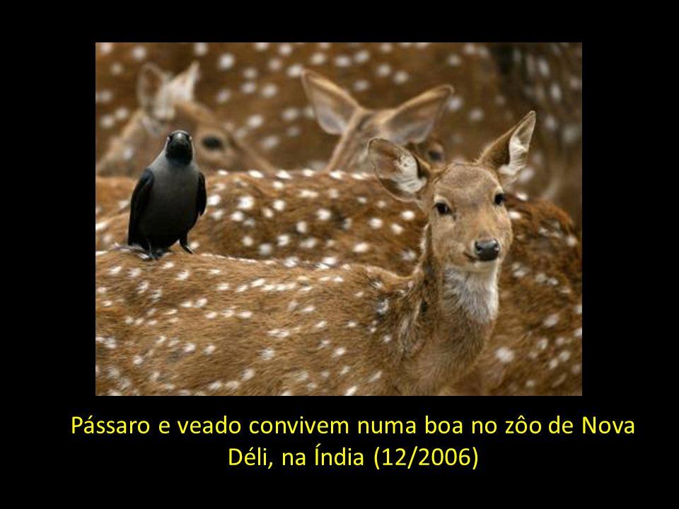 Pássaro e veado convivem numa boa no zôo de Nova Déli, na Índia (12/2006)