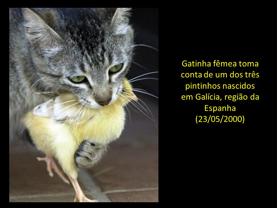 Gatinha fêmea toma conta de um dos três pintinhos nascidos em Galícia, região da Espanha (23/05/2000)