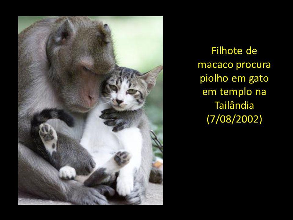 Filhote de macaco procura piolho em gato em templo na Tailândia (7/08/2002)