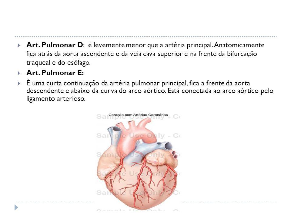 Art. Pulmonar D: é levemente menor que a artéria principal