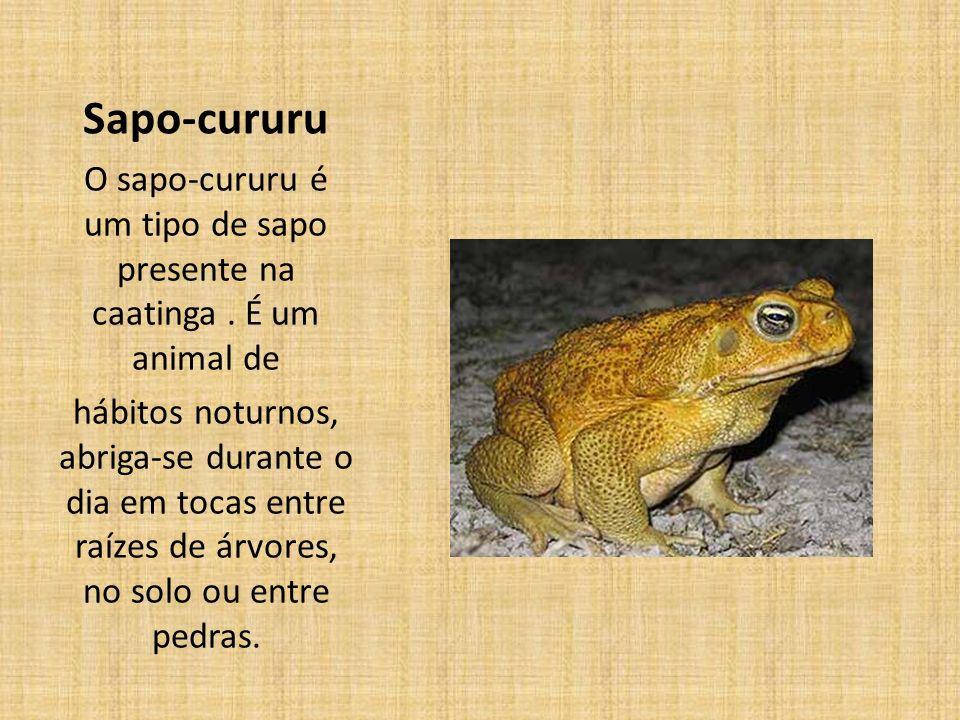 O sapo-cururu é um tipo de sapo presente na caatinga . É um animal de