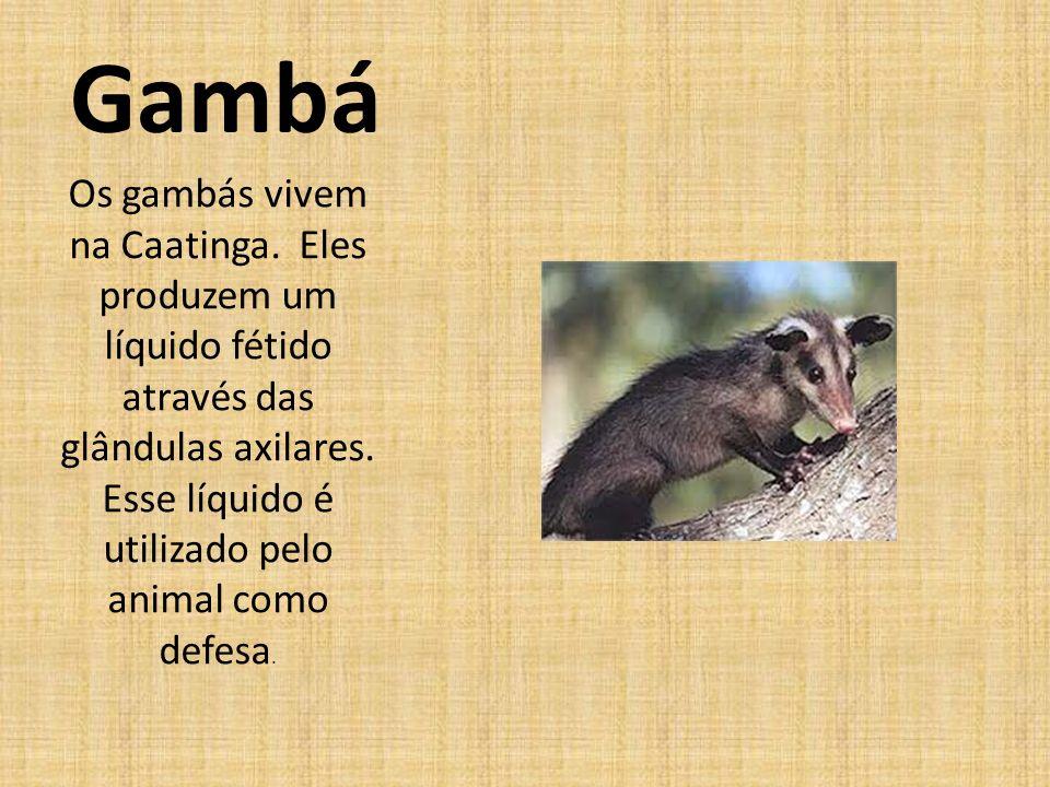 Gambá Os gambás vivem na Caatinga. Eles produzem um líquido fétido através das glândulas axilares.
