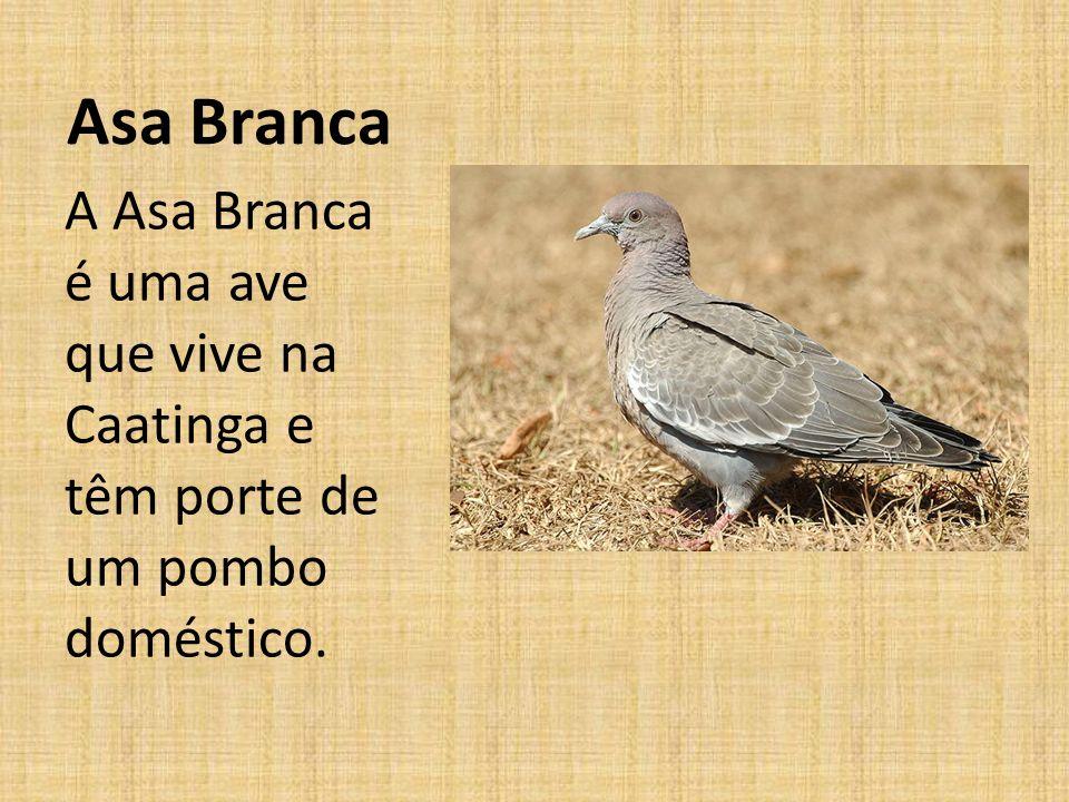 Asa Branca A Asa Branca é uma ave que vive na Caatinga e têm porte de um pombo doméstico.