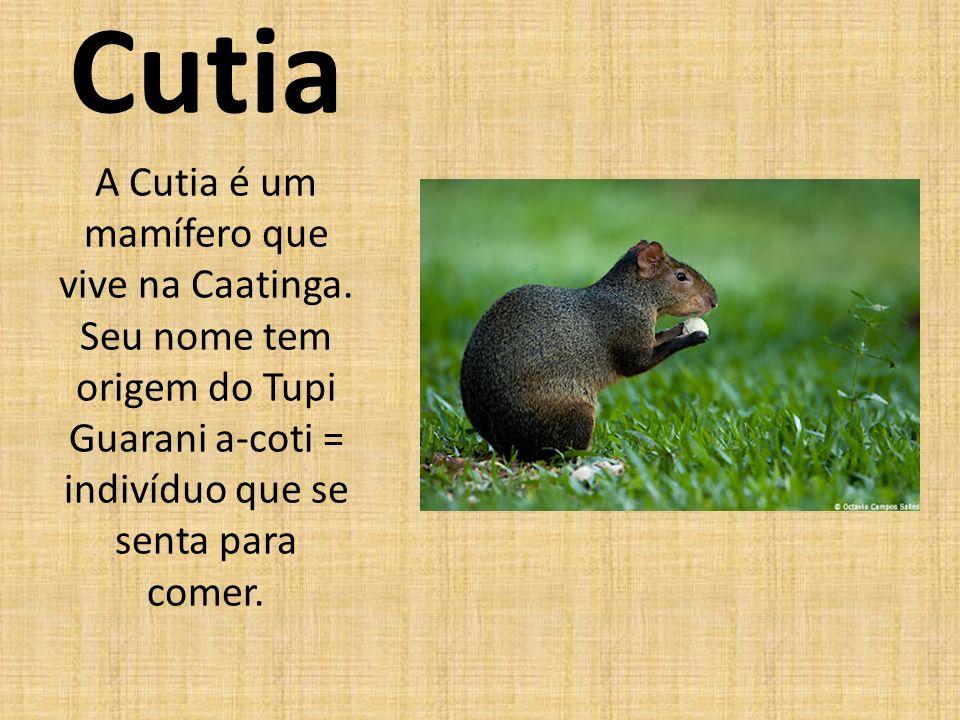 Cutia A Cutia é um mamífero que vive na Caatinga.