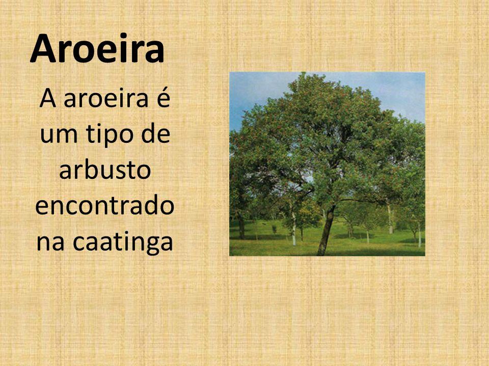 A aroeira é um tipo de arbusto encontrado na caatinga