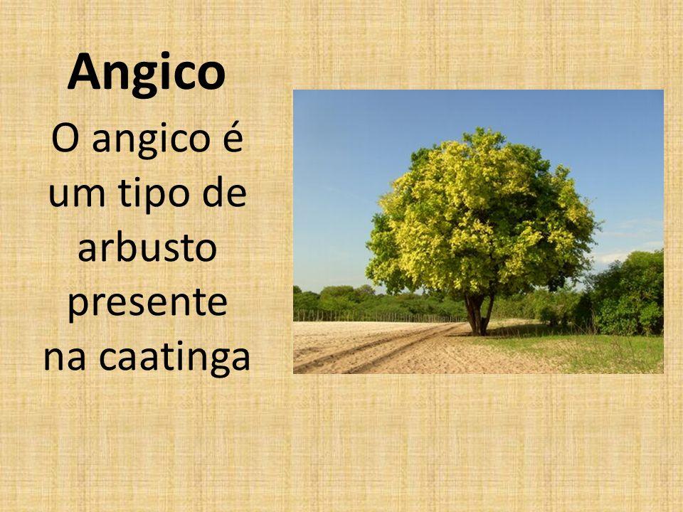 O angico é um tipo de arbusto presente na caatinga