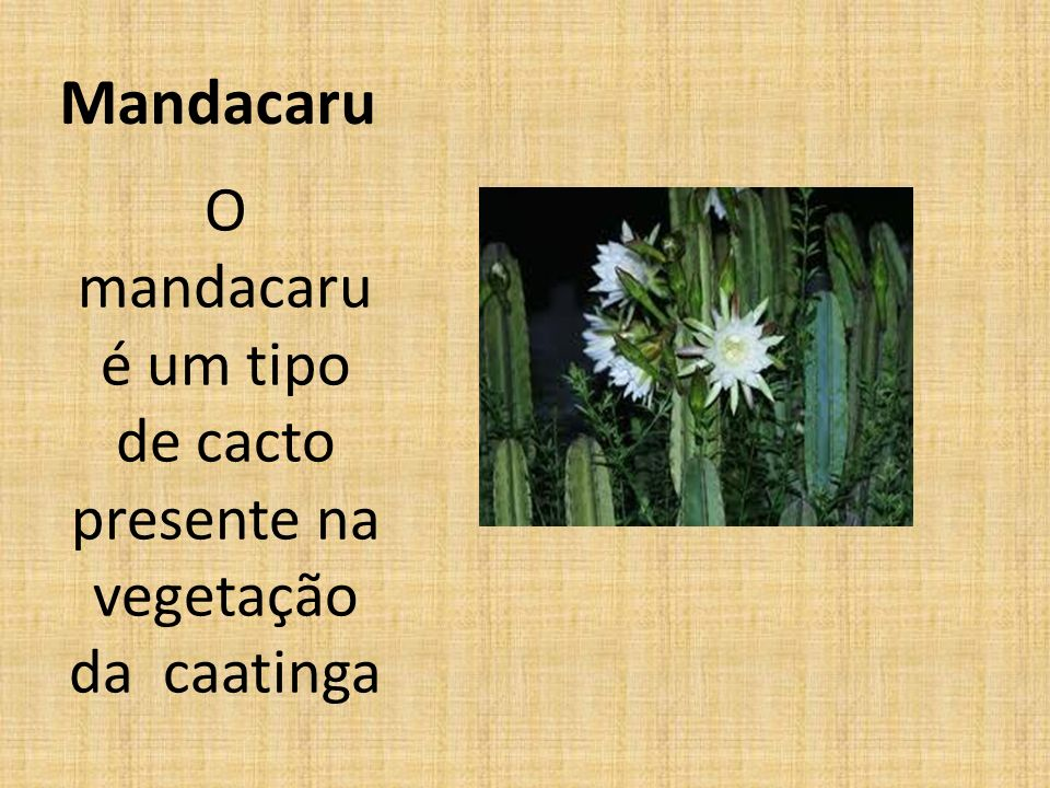 O mandacaru é um tipo de cacto presente na vegetação da caatinga