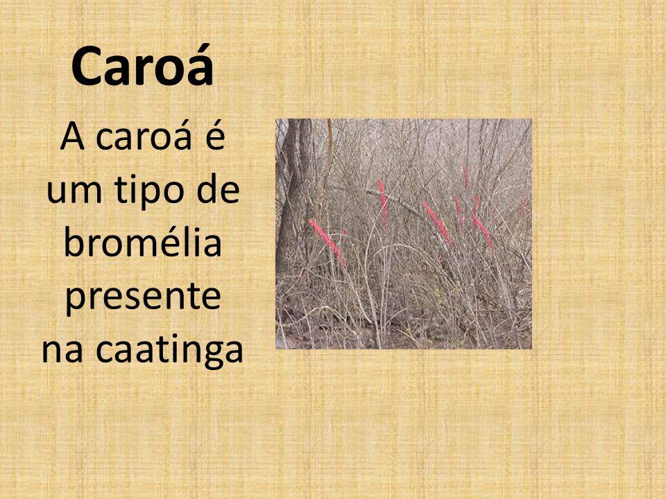 A caroá é um tipo de bromélia presente na caatinga