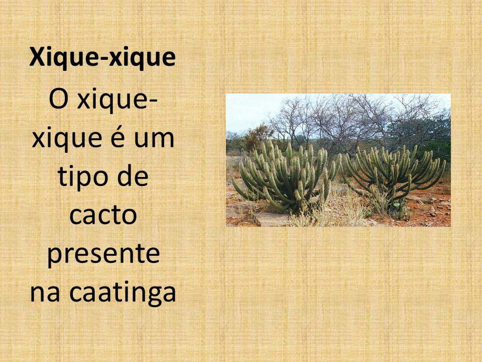 O xique-xique é um tipo de cacto presente na caatinga