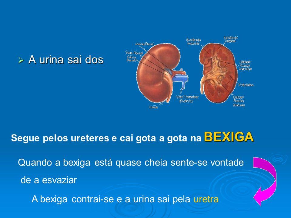 A urina sai dos Segue pelos ureteres e cai gota a gota na BEXIGA