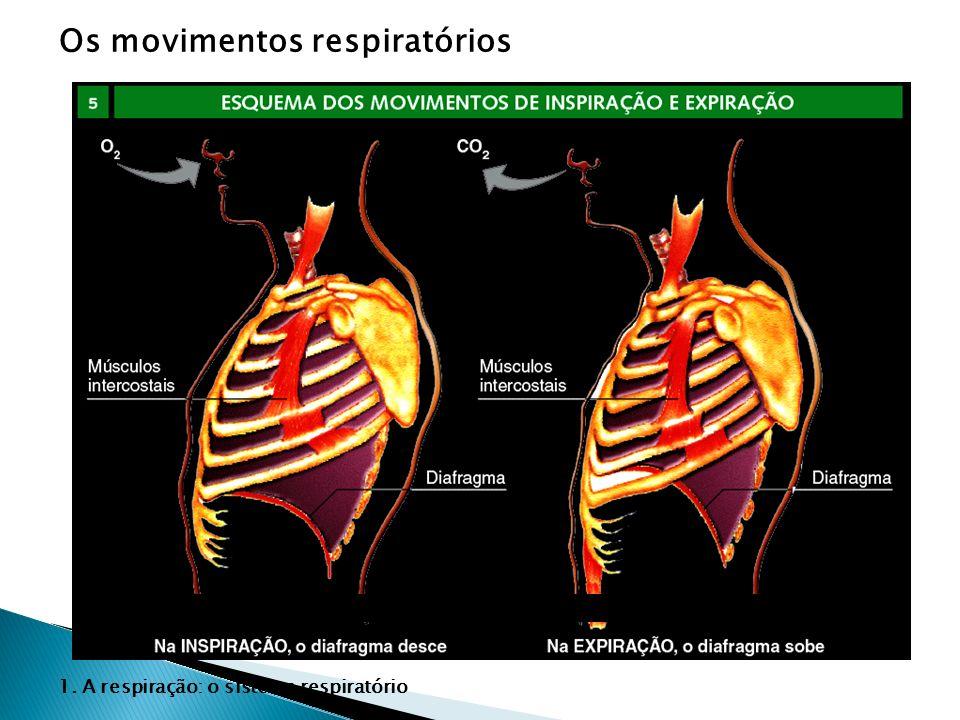 Os movimentos respiratórios