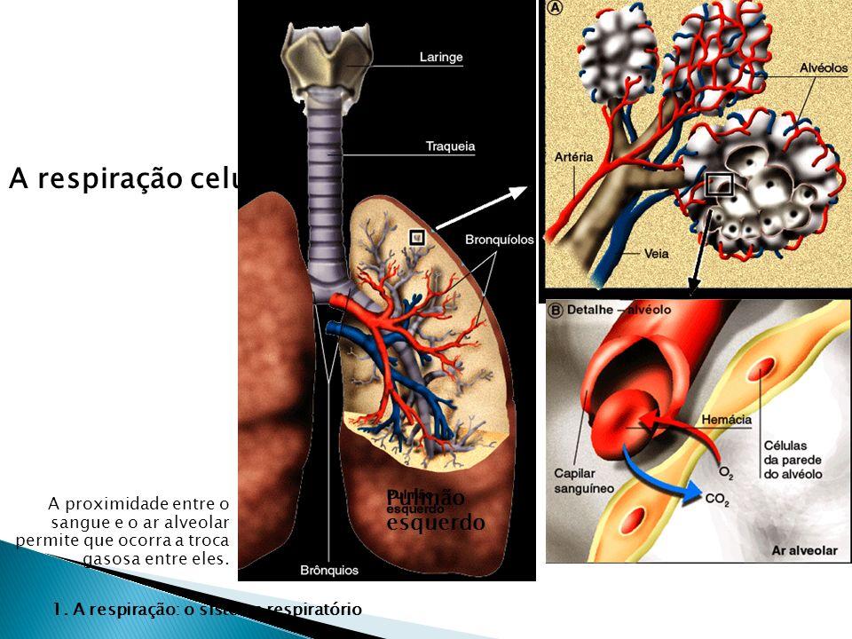 A respiração celular Pulmão esquerdo