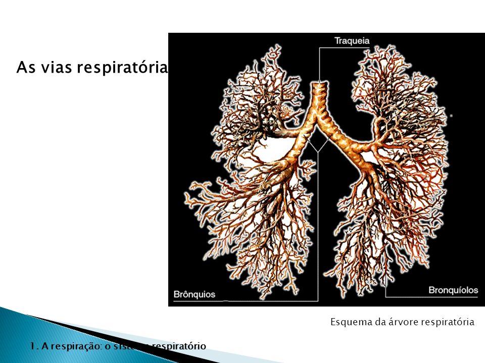 As vias respiratórias Esquema da árvore respiratória