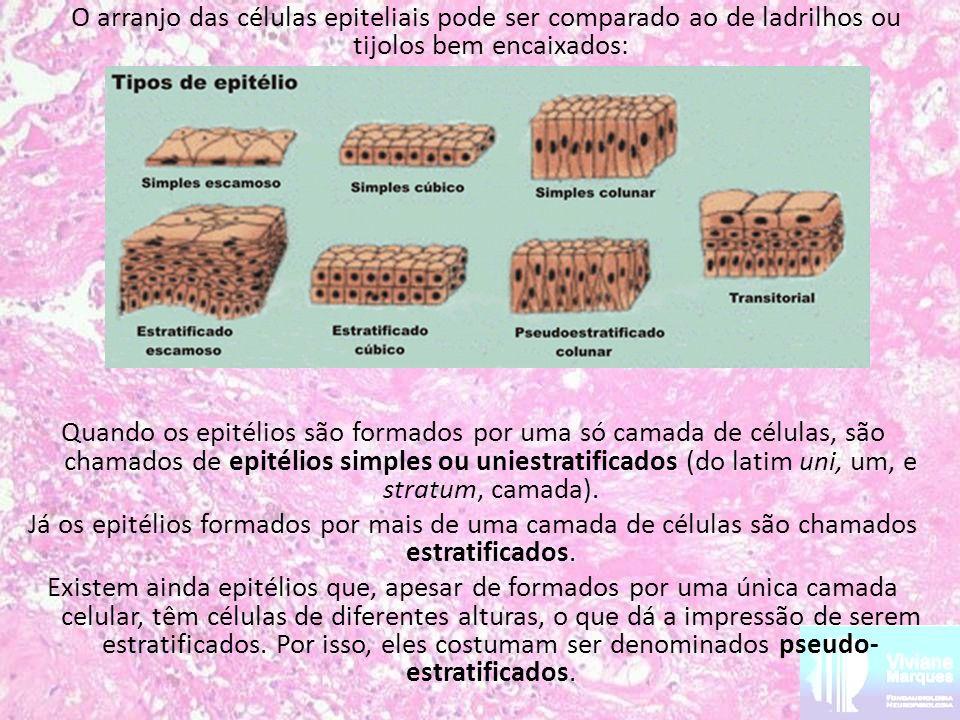 O arranjo das células epiteliais pode ser comparado ao de ladrilhos ou tijolos bem encaixados: Quando os epitélios são formados por uma só camada de células, são chamados de epitélios simples ou uniestratificados (do latim uni, um, e stratum, camada).