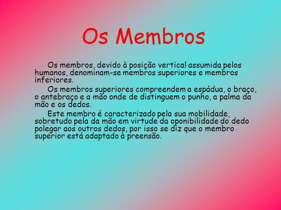 Os Membros Os membros, devido à posição vertical assumida pelos humanos, denominam-se membros superiores e membros inferiores.