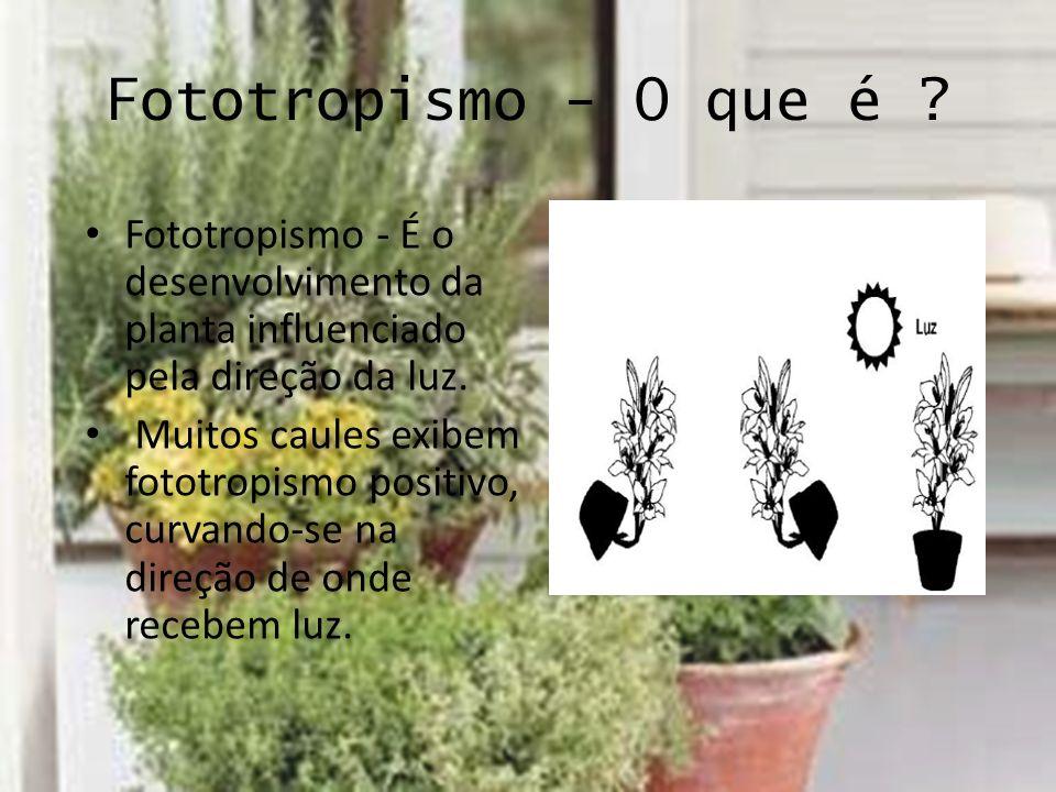 Fototropismo - O que é Fototropismo - É o desenvolvimento da planta influenciado pela direção da luz.