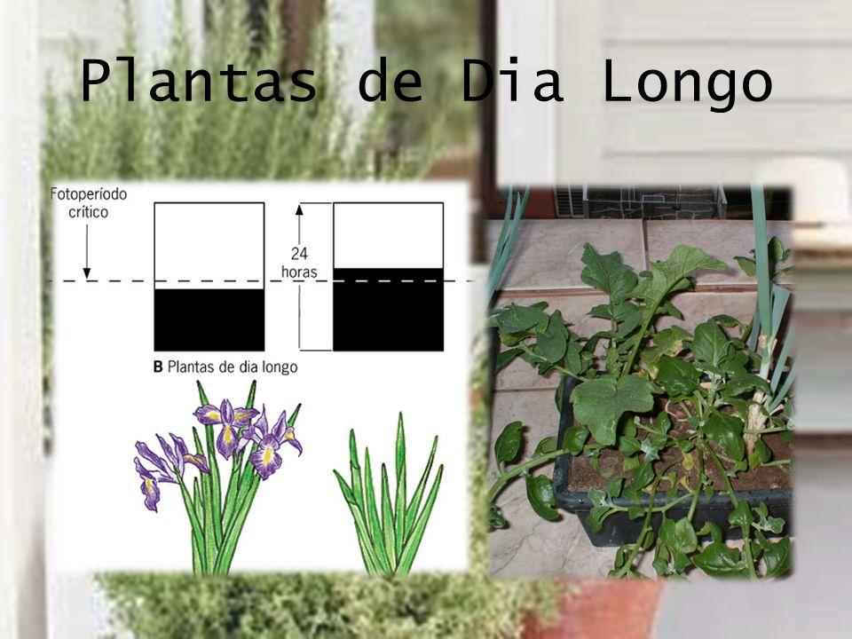Plantas de Dia Longo
