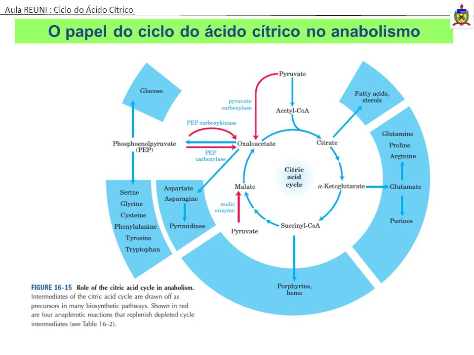 O papel do ciclo do ácido cítrico no anabolismo
