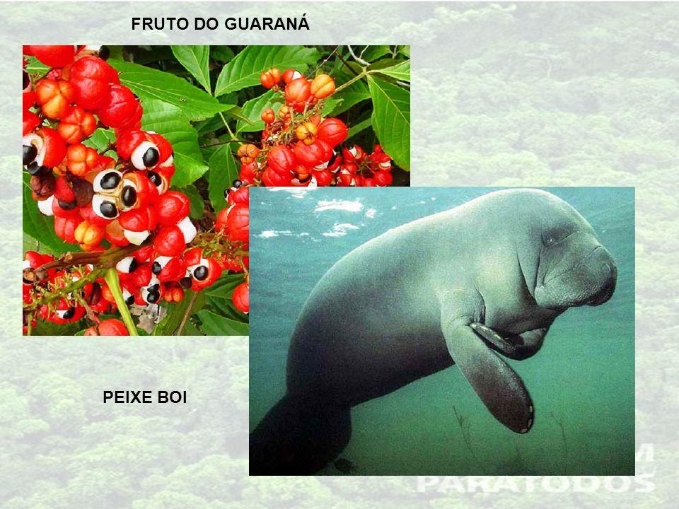 FRUTO DO GUARANÁ PEIXE BOI