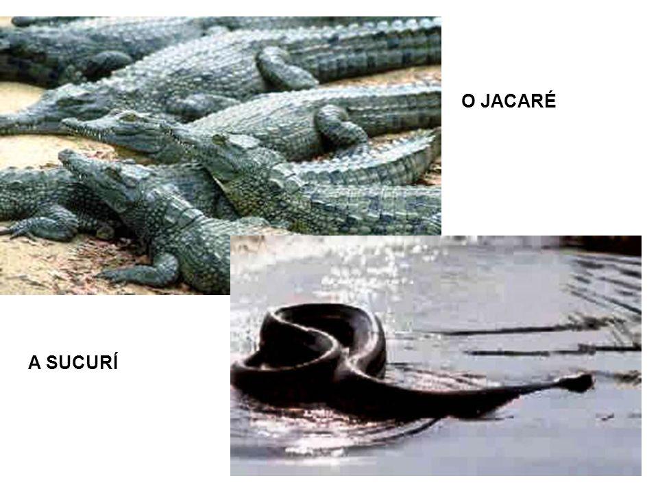 O JACARÉ A SUCURÍ