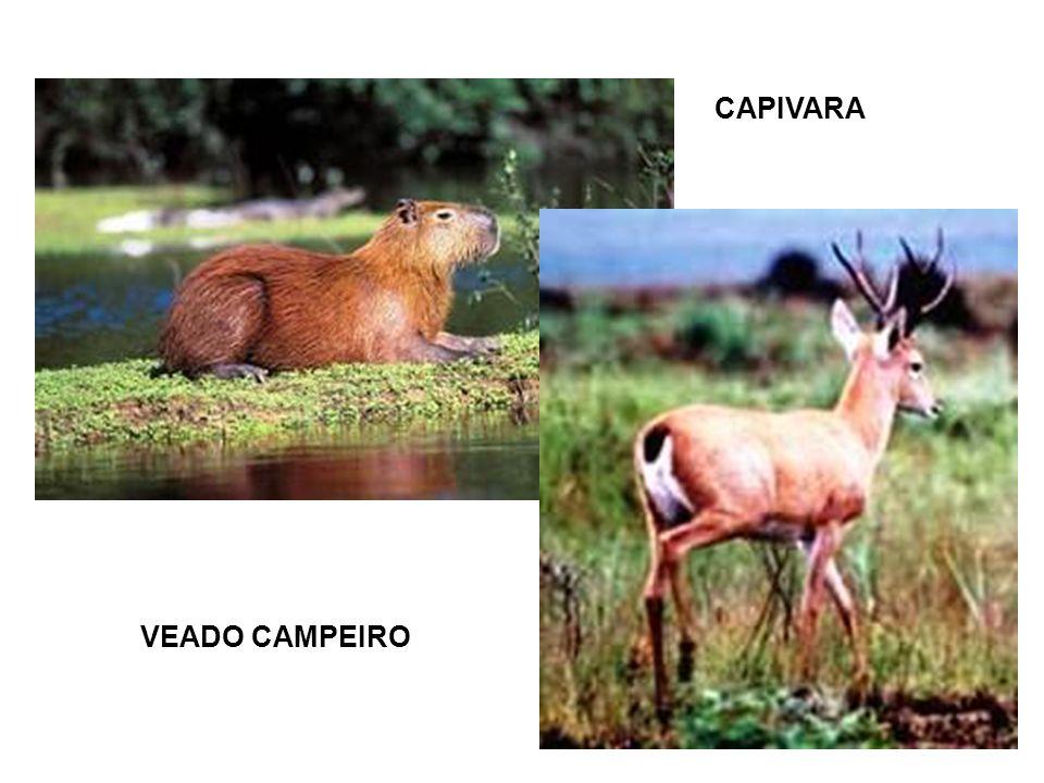 CAPIVARA VEADO CAMPEIRO