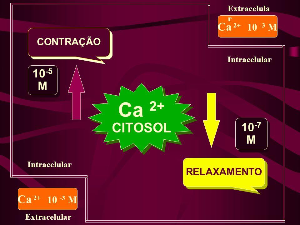 Ca 2+ CITOSOL Ca 2+ 10 -3 M 10-5 M 10-7 M Ca 2+ 10 -3 M CONTRAÇÃO