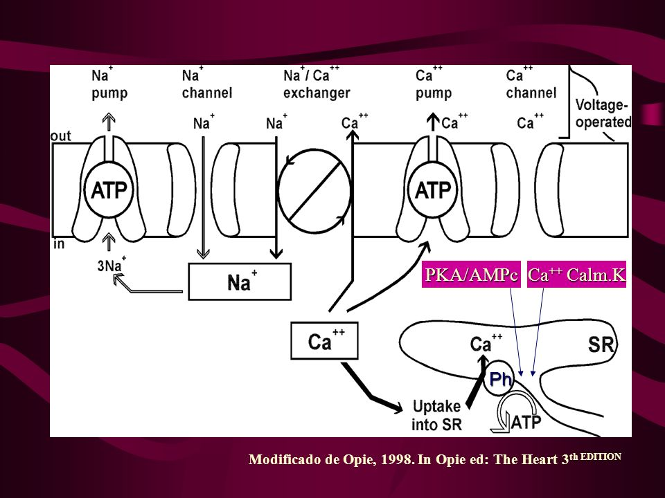 PKA/AMPc Ca++ Calm.K Ph Modificado de Opie, 1998. In Opie ed: The Heart 3th EDITION