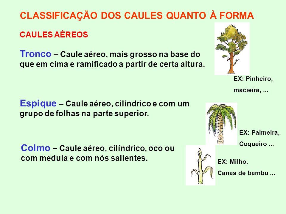 CLASSIFICAÇÃO DOS CAULES QUANTO À FORMA