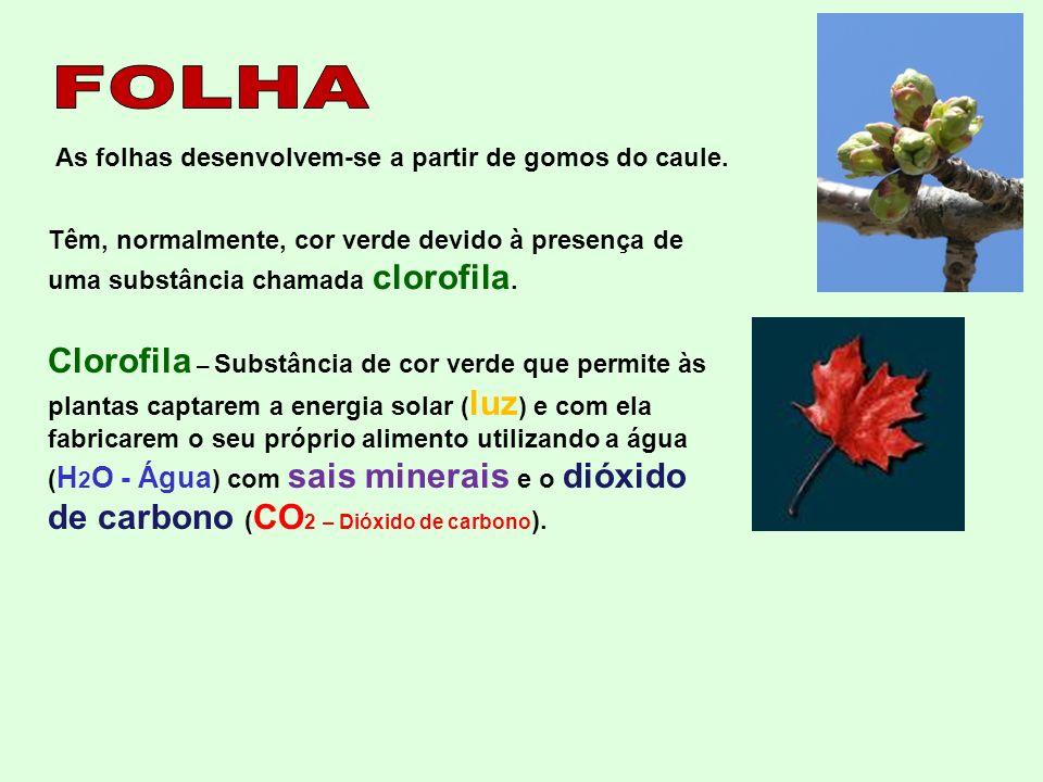 FOLHA As folhas desenvolvem-se a partir de gomos do caule. Têm, normalmente, cor verde devido à presença de uma substância chamada clorofila.