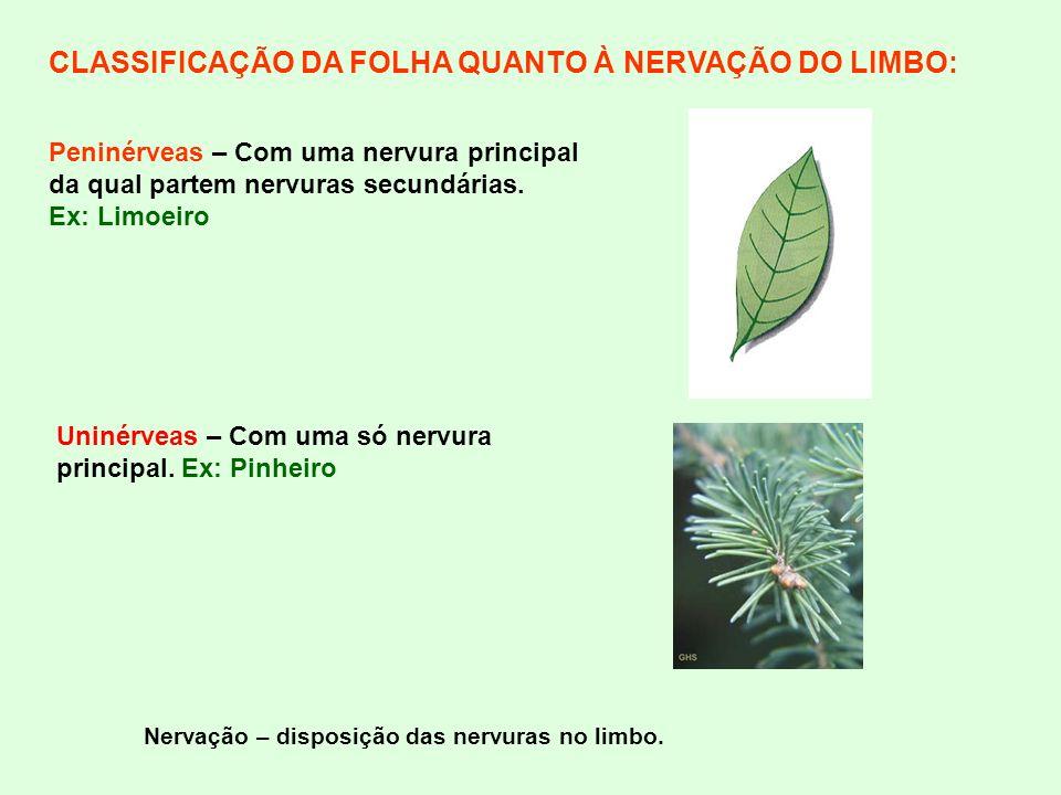CLASSIFICAÇÃO DA FOLHA QUANTO À NERVAÇÃO DO LIMBO:
