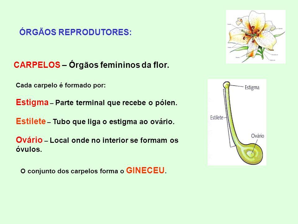 CARPELOS – Órgãos femininos da flor.