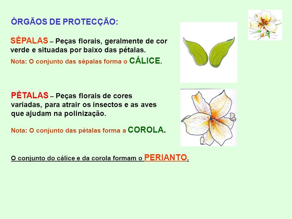 ÓRGÃOS DE PROTECÇÃO: SÉPALAS – Peças florais, geralmente de cor verde e situadas por baixo das pétalas.