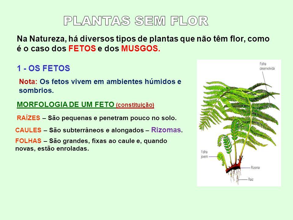 PLANTAS SEM FLOR Na Natureza, há diversos tipos de plantas que não têm flor, como é o caso dos FETOS e dos MUSGOS.