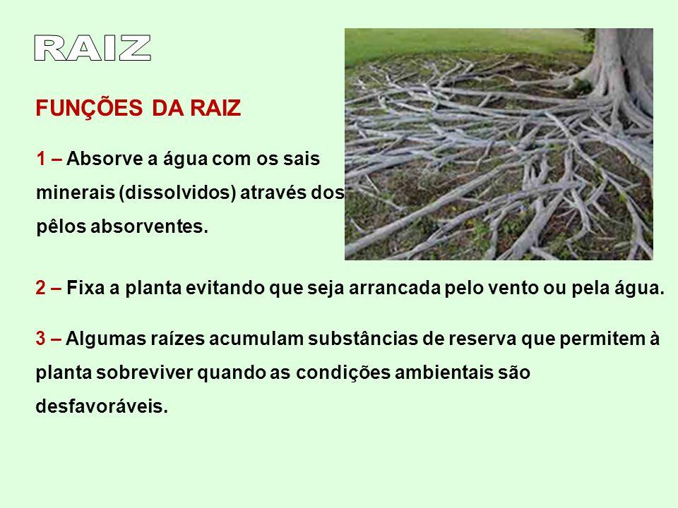 RAIZ FUNÇÕES DA RAIZ. 1 – Absorve a água com os sais minerais (dissolvidos) através dos pêlos absorventes.