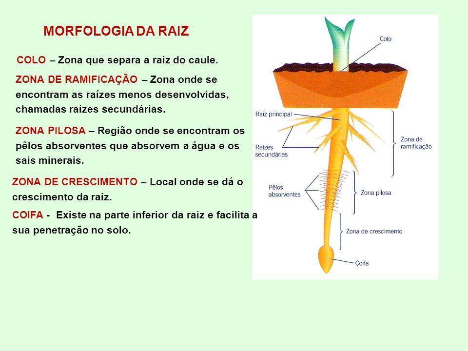 MORFOLOGIA DA RAIZ COLO – Zona que separa a raiz do caule.