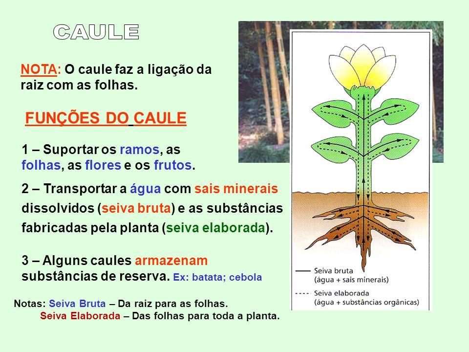 CAULE NOTA: O caule faz a ligação da raiz com as folhas. FUNÇÕES DO CAULE. 1 – Suportar os ramos, as folhas, as flores e os frutos.
