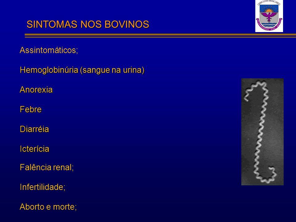 SINTOMAS NOS BOVINOS Assintomáticos; Hemoglobinúria (sangue na urina)
