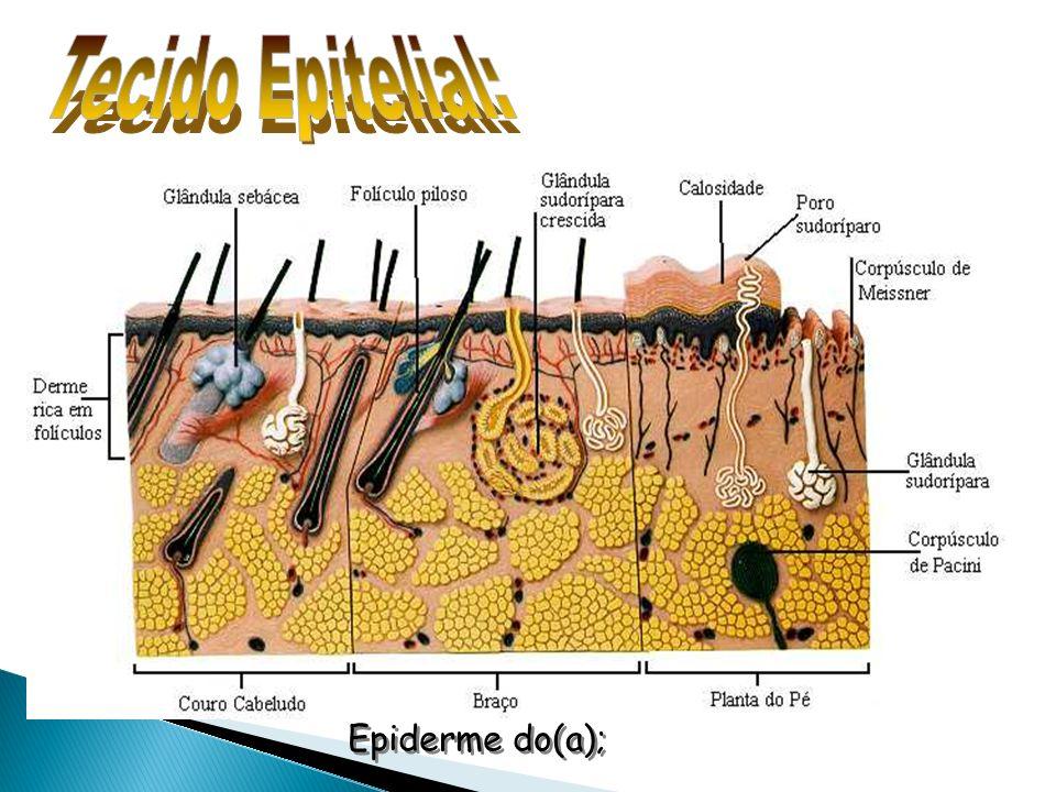 Tecido Epitelial: Epiderme do(a);